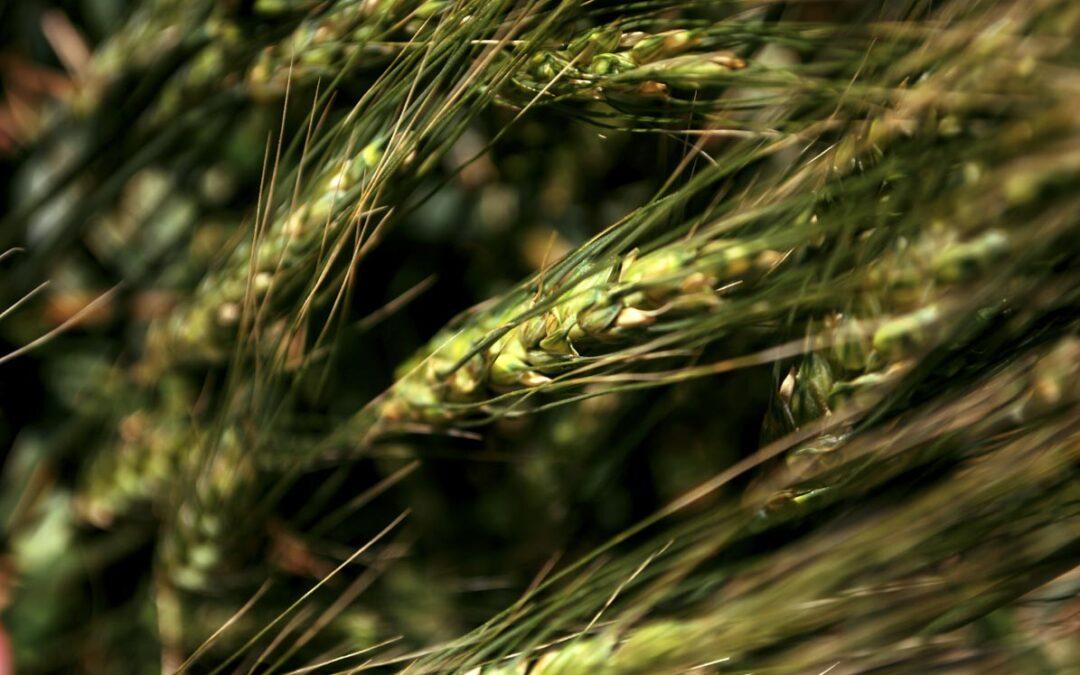 Con el trigo transgénico bajo el brazo