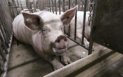 Megafactorías porcinas: la salud hecha un chiquero