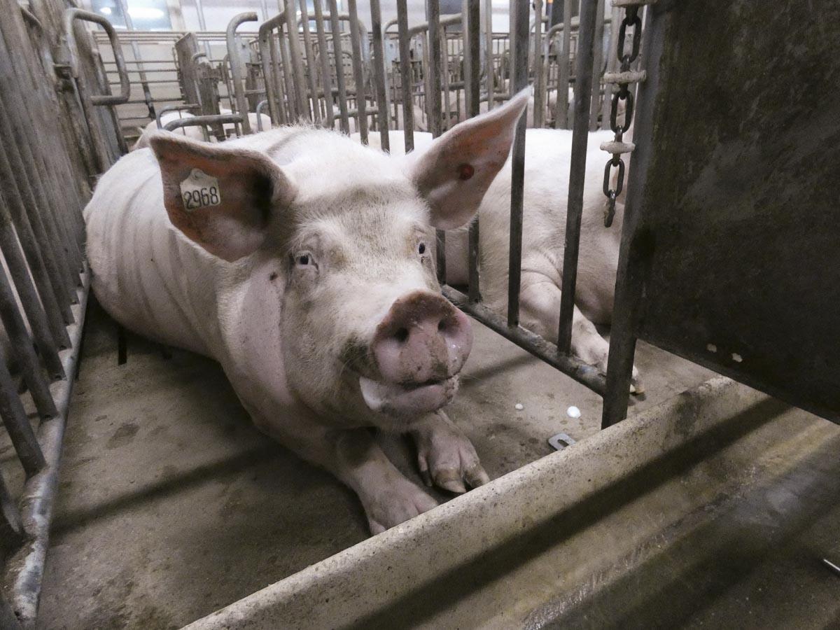 Megafactorias porcinas
