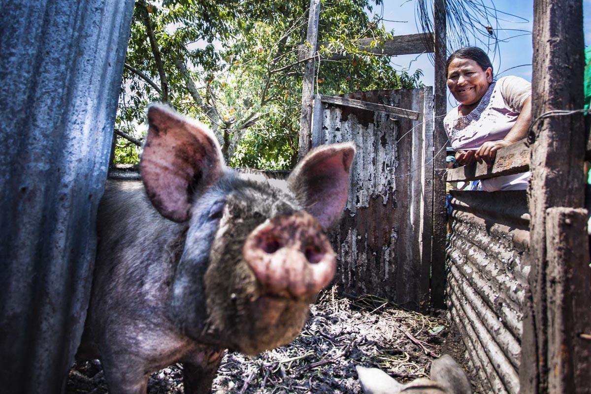Cerdos, propuesta sustentable.