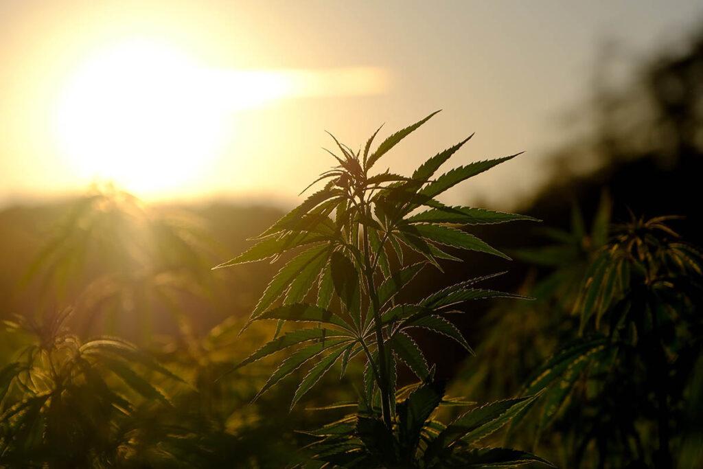 Cannabis en el Famatina