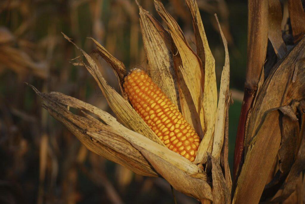 Cese de comercialización de maíz