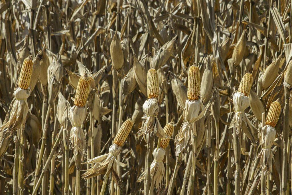 Plantación de maíz