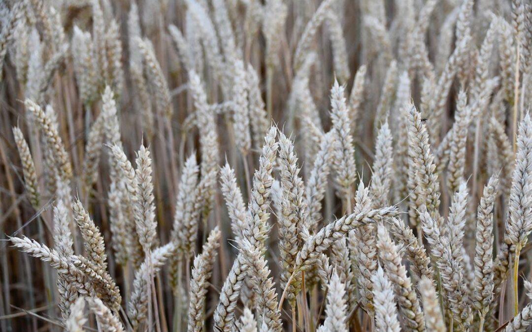 La excesiva fertilización de cultivos de trigo incide en el aumento de casos de celiaquía