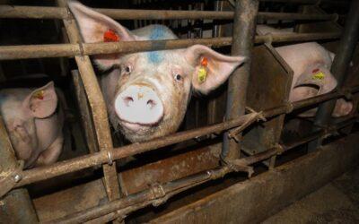 Impenetrable chaqueño: comunidades qom rechazan el acuerdo porcino con China