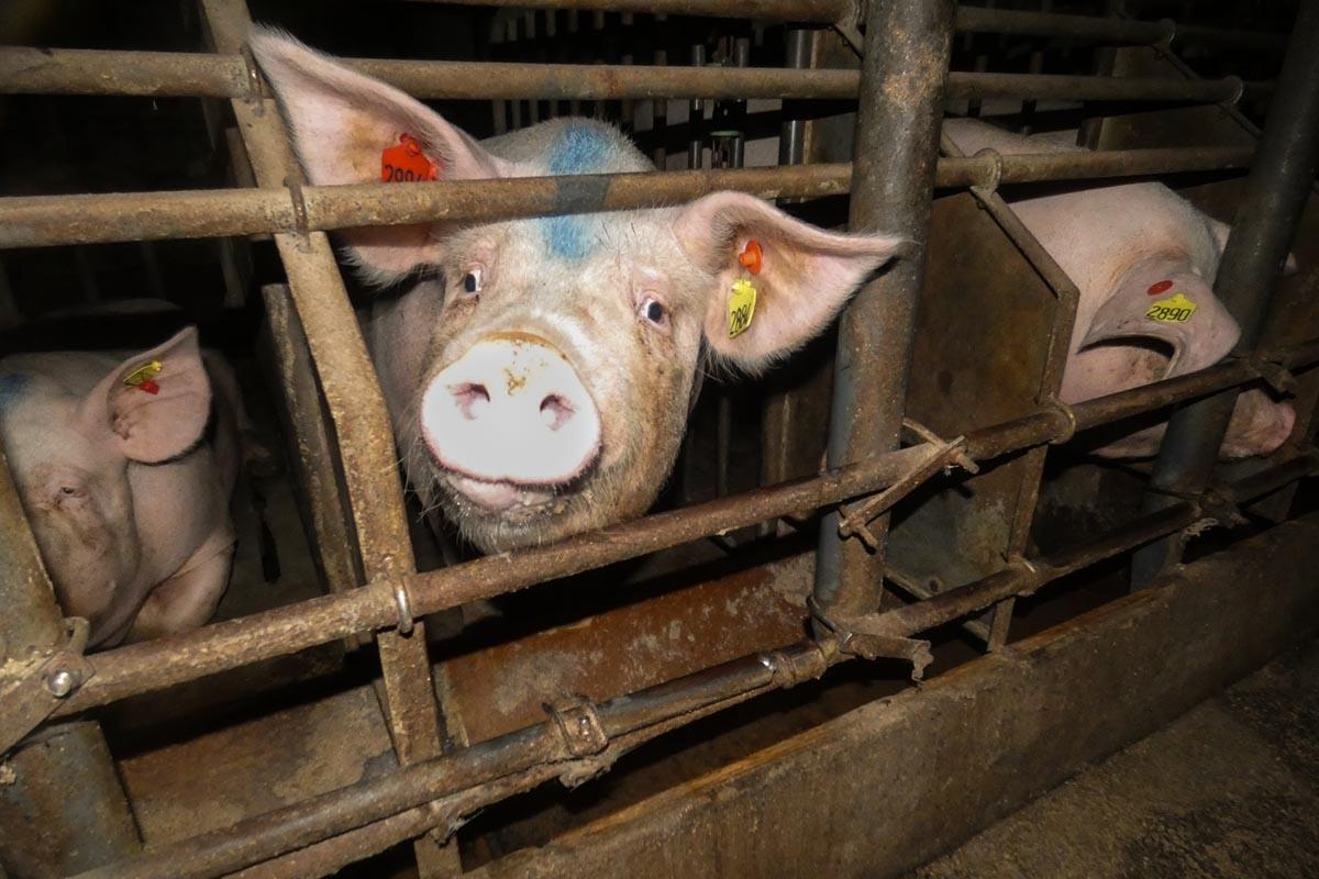 Las comunidades qom rechazan el acuerdo porcino con China