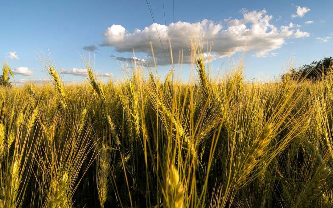 """Trigo transgénico: """"Un modelo de agricultura que profundiza la inequidad y daña al ambiente"""""""