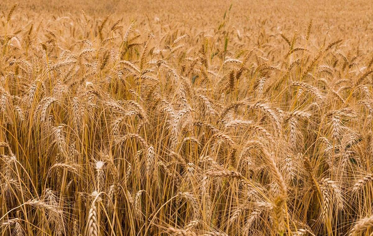 Aplazamiento de la aprobación del trigo transgénico en Brasil