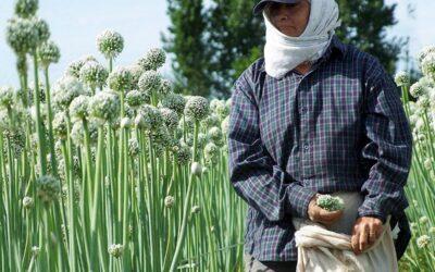 La producción de cebolla y el debate pendiente del acceso a la tierra