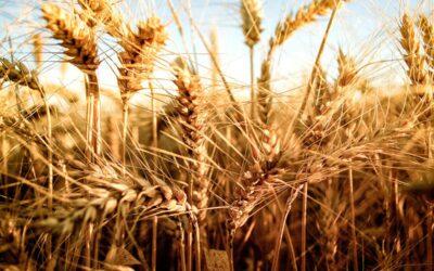 El trigo transgénico avanza sobre miles de hectáreas en Argentina, mientras Brasil demora su aprobación